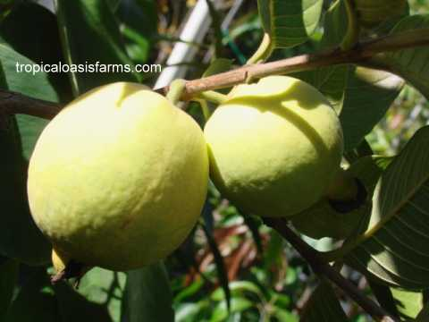 South African Yellow Guava