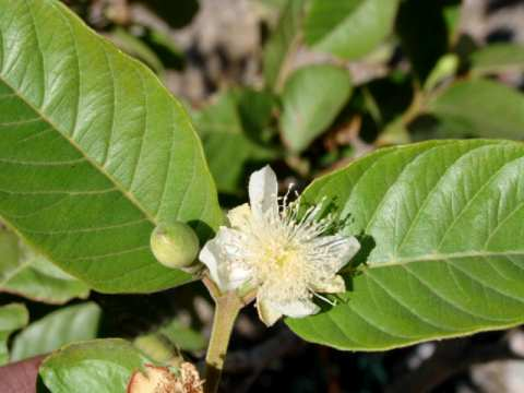 Brazilian White Guava Flower - goiaba branca do Brasil