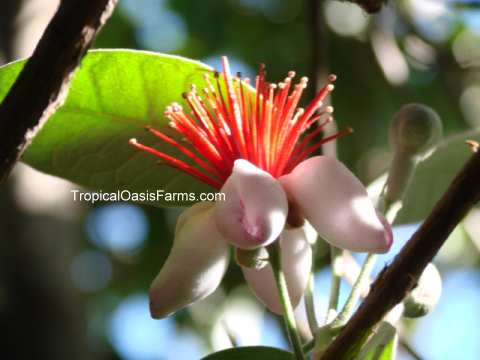 Feijoa Flower: also known as Pineapple Guava