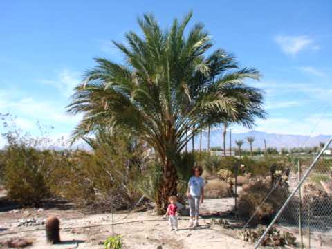 Medjool Date Palm Tree, 20 Feet tall