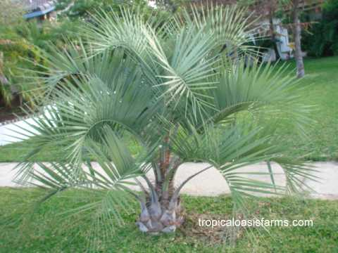 Jelly Palm; butia capitata