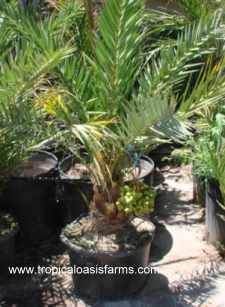 Medjool Date Palm Rooted Offshoot in 25 gallon container
