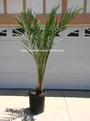 Medjool Date Palm Offshoot, 8' tall Female - 15 gallon pot