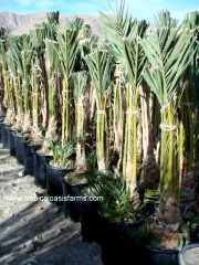Medjool Date Palm Offshoots