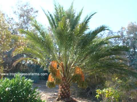 Female Medjool Date Palm Tree for sale in California, 16 feet tall with 150 pounds of medjool dates