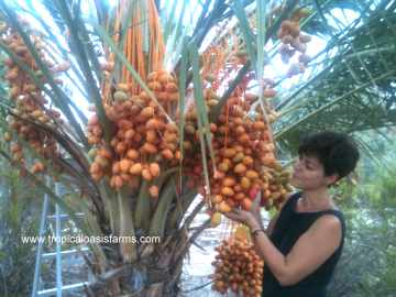 Medjool Date Palm with Ripening Medjool Dates