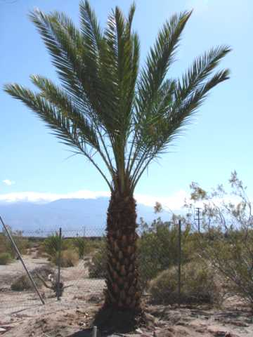 Male Date Palm for sale, 20 Feet tall
