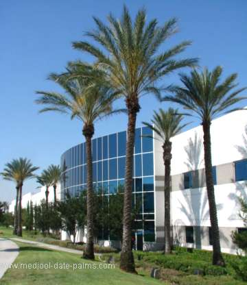 Medjool Date Palms used in Landscape Design for a Commercial Building