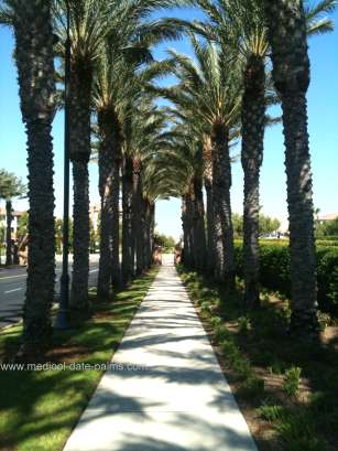 Medjool Date Palms used in landscaping