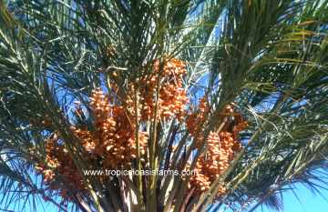 Medjool Date Palm with khalal stage medjool dates