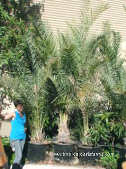 Zahidi Date Palm Offshoots 25 gallon pots